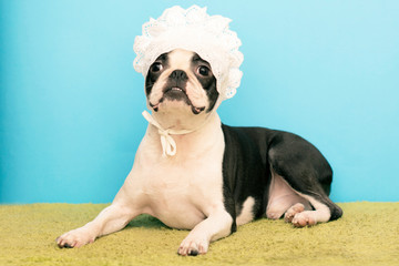 Boston Terrier Dog, dressed in a white children's lace cap. funny picture