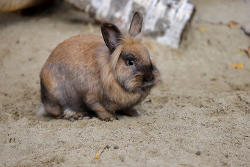 Full body of smoky brown domestic pygmy rabbit