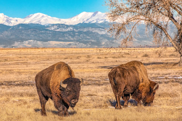 Fotorolgordijn Bison Bison grazing in front of snow capped mountains