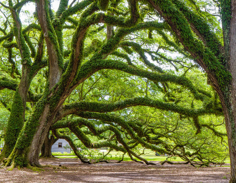 Southern live oak trees on Oak Alley Plantation, Vacherie, Louisiana, USA. Oak trees are massive, gnarled, with branches reaching to the ground