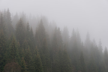 Coniferous forest on a cold, misty, autumn day