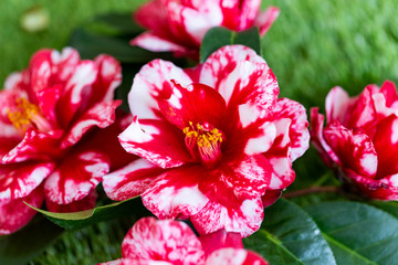 Selrcted garden camellia flower