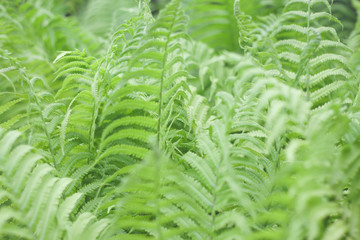 Green fern plants in nature environment.