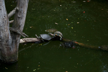 Two Turtles Trachemys scripta or Pond slider with red-eared slider in the pond resting on branch.