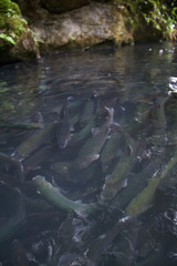 A trout under the surface of the water at a fish farm