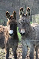 ânes âne animaux