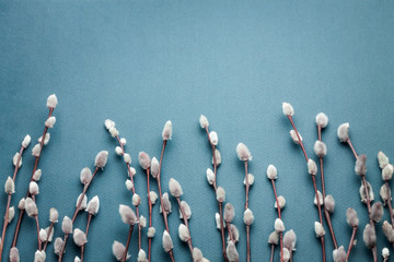 Pussy willow branches on blue background. Concept of springtime