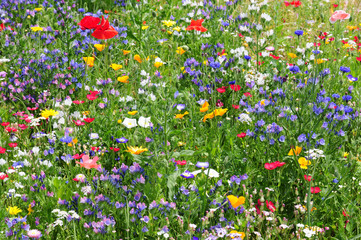 Fototapeta Colorful wildflowers in summer meadow - Wildblumenwiese