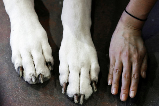 A woman compares her hand to the paws of Kallen, a Great Dane, during the Meet the Breeds event ahead of the 143rd Westminster Kennel Club Dog Show in New York