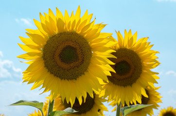 Wall Mural - Sunflowers. Field of sunflowers in the summer against the background of the sky.