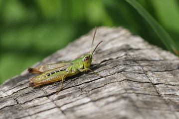 A Meadow Grasshopper (Chorthippus parallelus) perching on a log.