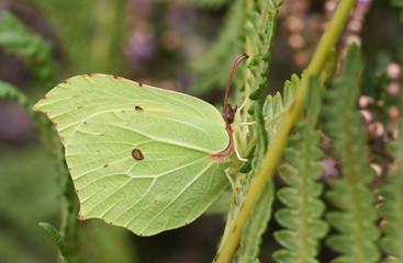 A pretty Brimstone Butterfly (Gonepteryx rhamni) perched on bracken.