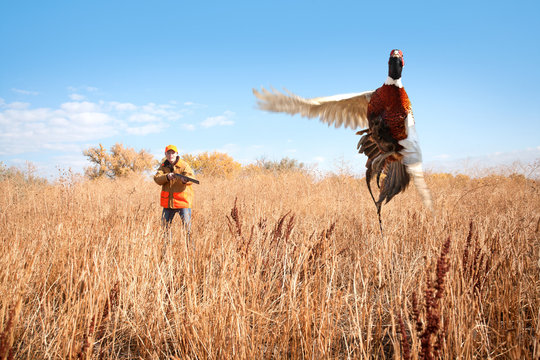 A male pheasant rooster takes flight a female pheasant hunter takes aim with her shotgun.