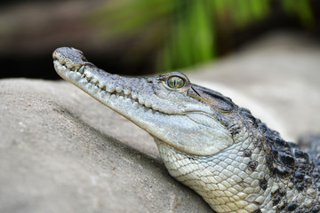 Freshwater crocodile ( Crocodylus mindorensis ) living in Philippine.