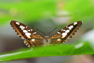 Brown clipper (Parthenos sylvia) sitting on green leaf.Tropical butterfly from Philippines.