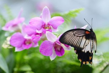 Beautiful butterfly Papilio rumanzovia or Scarlet Mormon on pink orchid flower.