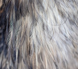Ostrich feathers as an abstract background