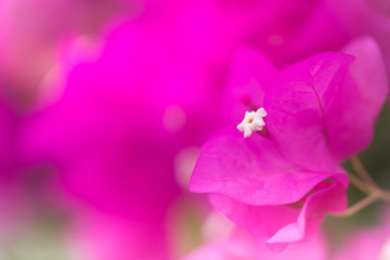Spoed Foto op Canvas Roze Close up nature view of pink paper flower under sun light. Natural green plants landscape using as a background or wallpaper.