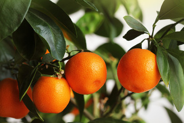 Freshness mandarin fruits on a tree. Tangerine background