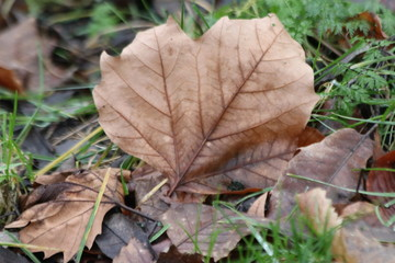 Brown leaf on the green grass in a park in Gouda the Netherlands