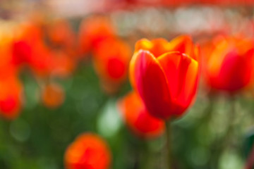 Abstract background with blurred red tulips in the field