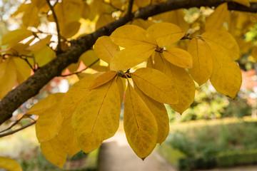 """magnolia x loebneri """"merril"""""""