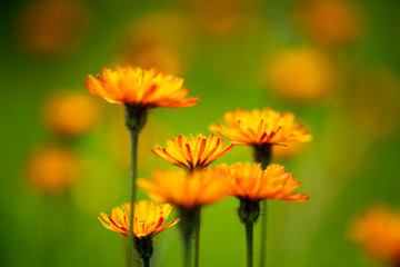 Crepis alpina - Abstract background of Alpine flowers
