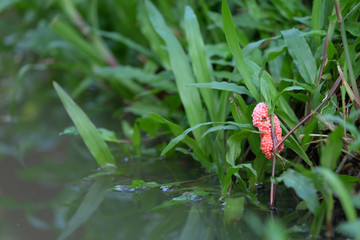Many pink apple snail eggs holding green fresh aquatic plant in swamp