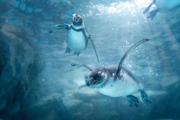 Fototapeten Pinguin 空を飛ぶように泳ぐペンギンたち