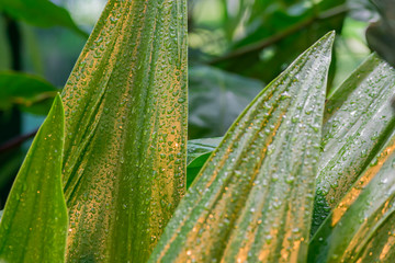 tropical leaves after the rain. Jungle nature background.