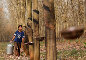 A girl collects rubber sap at a farm in Tbong Khmum province