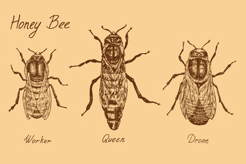 Honey bee archetypical caste specimens, worker, queen and drone, high quality vintage engraved illustration style, hand drawn doodle, sketch, vector with inscription