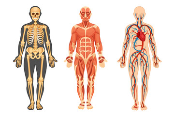 Structure of human, skeleton, muscular system, system of blood vessels.
