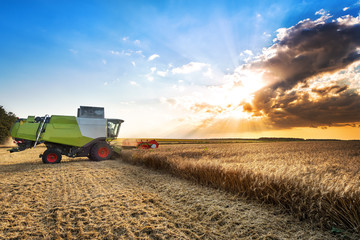 Wall Mural - Combine harvesting the wheat on a sunset.