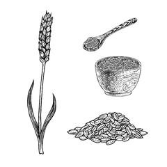 Hand drawn set of spelt plant porridge in bowl, spoon and seeds. Vintage vector sketch