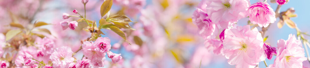 Foto op Plexiglas Kersenbloesem springtime panorama background with pink blossom