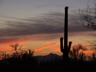 Saguaro Cactus of the Saguaro national park