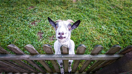 Goat looking into the camera, standing at a fence