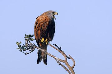 rufender Rotmilan (Milvus milvus) - Red kite Fototapete