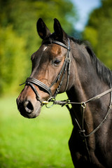 Brown warm blood horse with bridle
