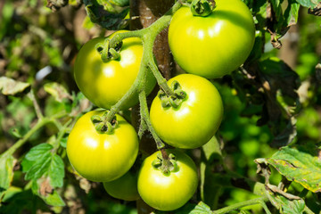 Green Tomatoes branch
