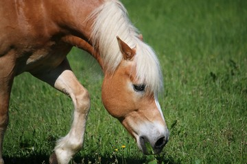 beautiful haflinger horse is eating fresh grass on the paddock