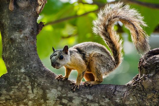 Variegated Squirrel ( Sciurus variegatoides)