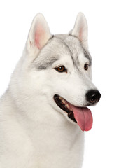 Siberian Husky Dog Isolated  on White  Background in studio