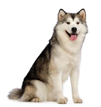 Alaskan Malamute dog on Isolated White Background in studio