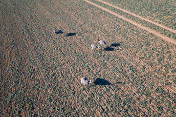 ostrich_field