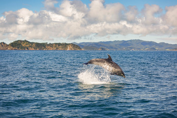 Jumping dolphin near Paihia, New Zealand