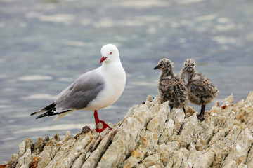 Red-billed gull with small chicks