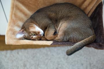 Sleeping abyssinian cat.