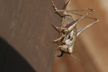 A Dark bush Cricket (Pholidoptera griseoaptera) perching on a wooden fence.